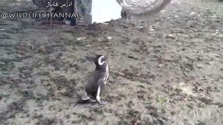 یکی از پنگوئن ها در  سفر مهاجرتی خود بشدت بیمار  میشه و  ...