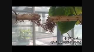 مورچه ها برای رسیدن به تکه چوب  مجاور ، با افزایش طول بدن و قرار گرفتن بر روی یکدیگر یک پل مورچهای بی نظیر ساختند