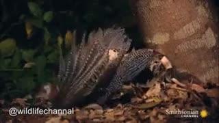 استتار ماهرانه مار برای شکار پرنده