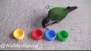 تشخیص رنگ توسط طوطی