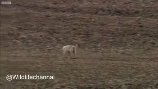 نبرد جغد با پرندگان شکاری و گرگها برای دفاع از  جو جه هایش