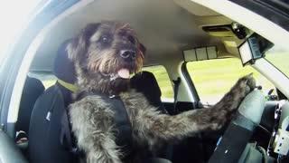 اولین سگ راننده جهان : پورتر !