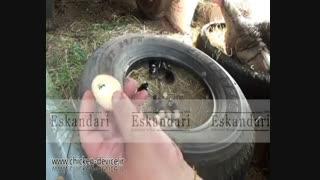 ویدیو زیبا از نگهداری بوقلمون و جوجه هایش