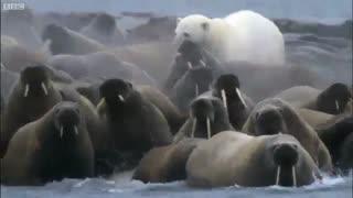 حمله خرس قطبی به فُک ها