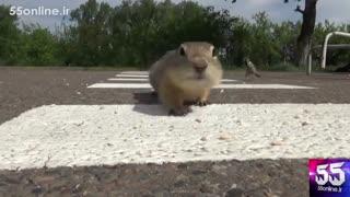 خط کشی و علائم راهنمایی برای عبور سنجاب ها در سیبری