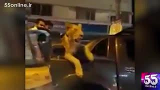 بازداشت یک نفر در کراچی پاکستان به دلیل گشت و گذار در شهر به همراه یک شیر