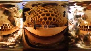 ویدیو 360 درجه : داخل کندو زنبور عسل