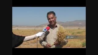 برداشت عدس در استان لرستان