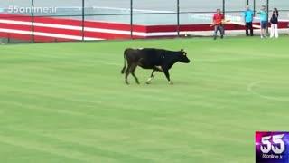 آمدن یک گاو وسط زمین فوتبال در حین یک بازی دوستانه در بلغارستان