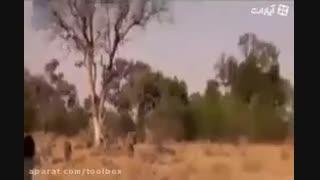 کلیپ دیدنی نجات آهو از چنگال پلنگ