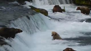 خرسهای ماهیگیر در ابشار