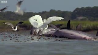 این دلفین های هوشمند برای شکار ماهی ها خود را به ساحل میرسانند !