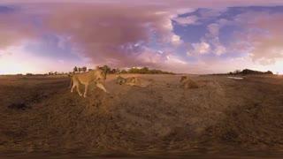 ویدیو 360 درجه : زندگی شیر ها