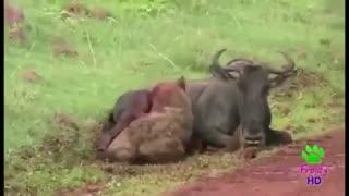 (زنده خواری)  حیوان  نگون بخت رو زنده داره میخوره