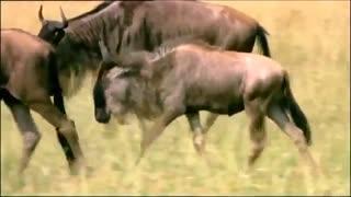 حمله  کّل  مادر به یوزپلنگ برای نجات فرزندش