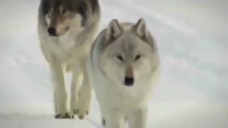 چطور گرگها رودخانهها را تغییر دادند؟ (زیرنویس فارسی)