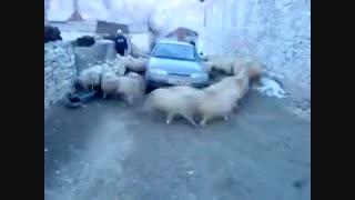 محاصره  ماشین توسط گوسفند...ببین چقدم گوسفندا  !!!...