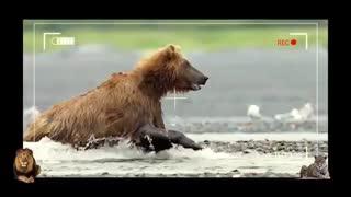 جدال گرگ و خرس !