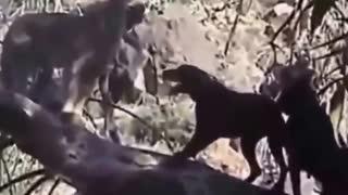 Leopard vs Dog vs Tiger | Most Amazing Wild Animal Attacks - shoppluss