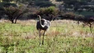 مسابقه مرگبار شترمرغ با چیتا
