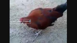 مشروب دادن به مرغ و خروس