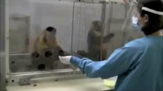 به میمون سمت راستی انگور میدن، به میمون سمت چپی خیار !