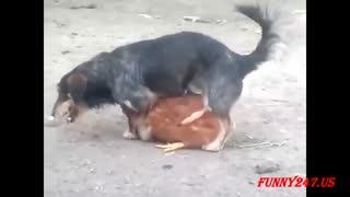تجاوز سگ های بی ادب به مرغ