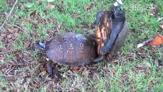 جفت گیری نا موفق لاکپشت ها (کلیپ رحمان)