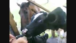 Cow and Horse, the best of friends(برگفته از یوتیوب)