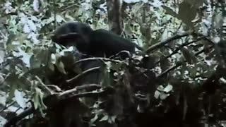 شامپانزه های جنگجو