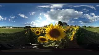 ویدیو 360 درجه از مزرعه آفتابگردان(خیلی قشنگه!)